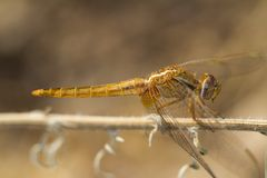 Scarlet darter (Crocothemis erythraea) dragonfly Royalty Free Stock Images