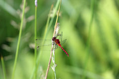 Scarlet Darter Dragonfly Stock Photo