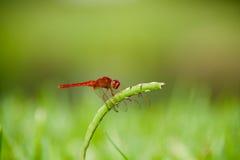 Scarlet Darter Dragonfly Stock Photos