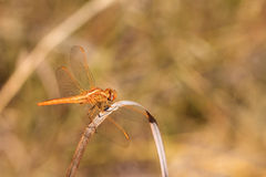 Scarlet darter female Royalty Free Stock Photography