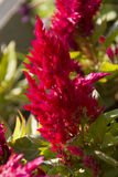 Scarlet decorative amaranth flower growing Stock Photo