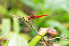 Scarlet dragonfly. Beautiful red dragonfly (pres. the Scarlet dragonfly, Crocothemis erythraea) in Masoala national park, Madagascar Royalty Free Stock Images