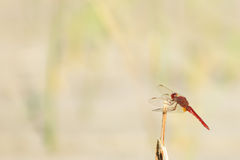 Scarlet dragonfly Stock Image