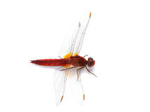 Scarlet Dragonfly (Crocothemis erythraea) isolated on white Royalty Free Stock Photos