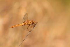 Scarlet Dragonfly Stock Photos