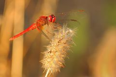 Scarlet dragonfly & x28;Crocothemis erythraea& x29; stock photos