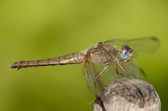 Scarlet Dragonfly, female Royalty Free Stock Photo