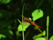 Scarlet dragonfly resting on a blade of grass stock images