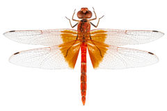 Scarlet Dragonfly species Crocothemis erythraea Royalty Free Stock Photos