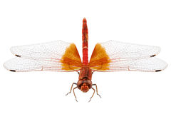 Scarlet Dragonfly species Crocothemis erythraea Stock Images