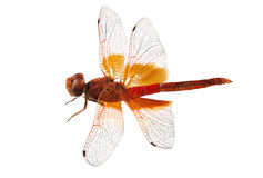 Scarlet Dragonfly species Crocothemis erythraea Stock Photos