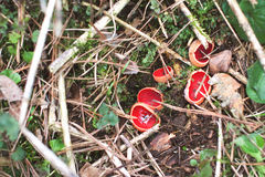 Scarlet Elf Cup Mushroom - Sarcoscypha coccinea Royalty Free Stock Photos