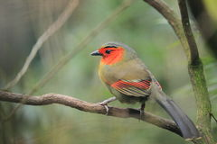 Scarlet-faced liocichla Royalty Free Stock Photo