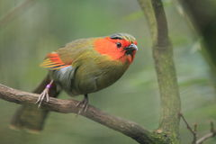 Scarlet-faced liocichla Royalty Free Stock Photography