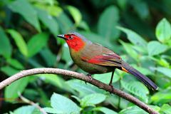 Scarlet-faced Liocichla  in Green background stock photography