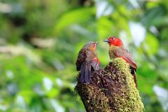 Scarlet-faced Liocichla On the green stump stock photography