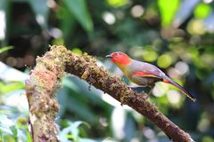 Scarlet-faced Liocichla stock images