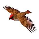 Scarlet Finch. 3D digital render of a flying scarlet finch isolated on white background Stock Image