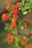 Scarlet Firethorn Stock Image