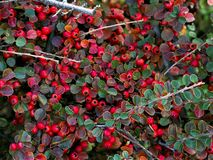 Scarlet firethorn bush plant. Small orange-colored fruit shrub plants, branches and leaves royalty free stock photography