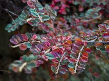Scarlet firethorn bush plant. Small orange-colored fruit shrub plants, branches and red leaves stock photos