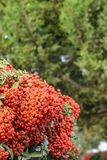Scarlet Firethorn, ornamental bush Pyracantha Coccinea. Ornamental bush Pyracantha Coccinea with clusters of red ripe berries in a sunny autumn day stock photos