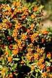 Scarlet firethorn Royalty Free Stock Photos