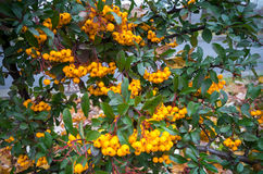 Scarlet firethorn Pyracantha coccinea Stock Photography