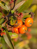 Scarlet Firethorn winter berries Royalty Free Stock Photos