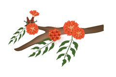 Scarlet Flame Bean or Brownea Ariza Flower on Tree Stock Image