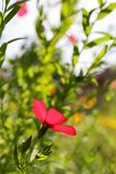 Scarlet Flax in Morning Sunlight royalty free stock images