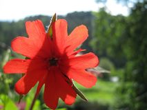 A Scarlet Flower, Bright Like the Sun. A red Maltese Cross flower standing out from the greenery Royalty Free Stock Image