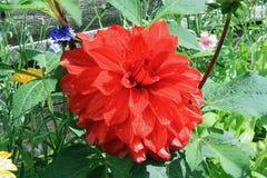Scarlet flower Stock Images