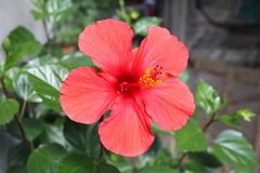 Scarlet flower grows in the garden royalty free stock images