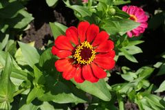 Scarlet flowerhead of Zinnia elegans from above Royalty Free Stock Photography