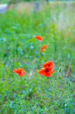 The scarlet flower Royalty Free Stock Photography