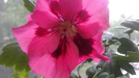 SCARLET FLOWER: Violet royalty free stock image