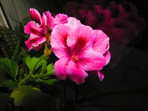 The Scarlet Flower. A flower on the windowsill in the late evening royalty free stock photos