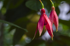 Scarlet flowers of the fuchsia Stock Photos