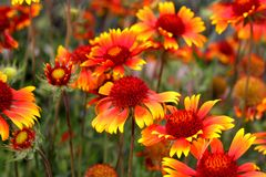 Scarlet flowers in garden. Shallow DOF Royalty Free Stock Photos