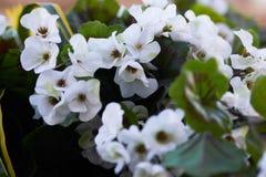 Scarlet flowers of a garden geranium. Pelargonium flowers closeup royalty free stock image