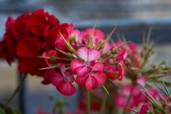 Scarlet flowers of a garden geranium. Pelargonium flowers closeup royalty free stock images