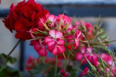 Scarlet flowers of a garden geranium. Pelargonium flowers closeup stock image