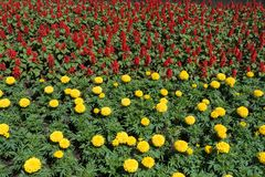 Scarlet flowers of sage and yellow flowerheads of marigolds. Scarlet flowers of sage and yellow flower heads of marigolds stock photos