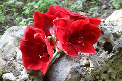 Scarlet flowers Stock Images