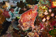 Scarlet frogfish Royalty Free Stock Photo