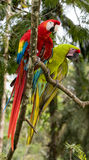 Scarlet & Great Green Macaw Royalty Free Stock Photography
