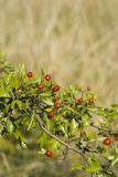 The scarlet hawthorn Stock Photography