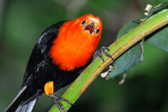 Scarlet headed blackbird. The Scarlet-headed Blackbird, Amblyramphus holosericeus, is an icterid bird of southern South American wetlands Stock Photography
