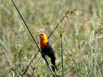 Scarlet-headed Blackbird (Amblyramphus holosericeus) Royalty Free Stock Photo